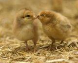 Ο Ζεόλιθος  στην πτηνοτροφία