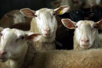 Ο ζεόλιθος στην κτηνοτροφία